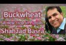 Buckwheat alternate of wheat