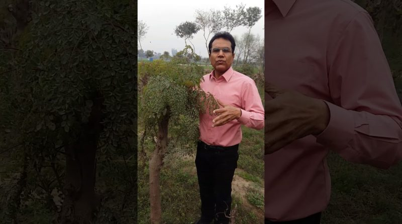 moringa health benefir urdu 21 1 17