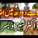 Moringa Milk Enhancer Dairy Cows. shahzad basra