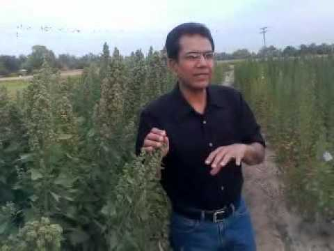 Quinoa ideal future cash crop of pakistan.3gp