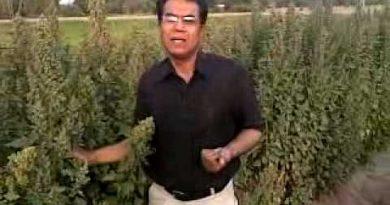 Quinoa shahzad basra pakistan 2.mp4
