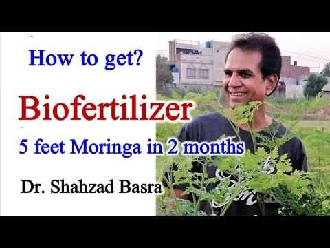 Excellent results of Bio fertilizer on Moringa crop
