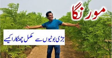 Organic weed control of moringa field