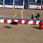 funny ostrich race