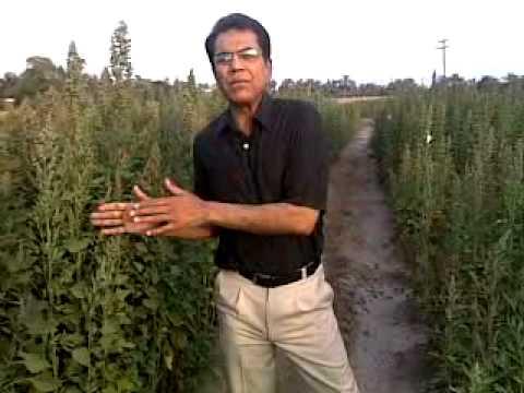 Quinoa shahzad basra pakistan 3.mp4
