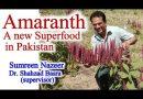 Amaranth a Highly Nutritious Food Grain
