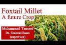 Foxtail Millet a Future Crop of Pakistan
